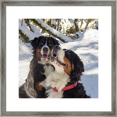 Pair Of Bernese Mt Dogs Framed Print by Jean Noren