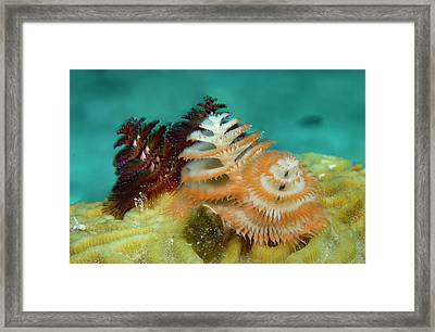 Pair Of Christmas Tree Worms Framed Print by Jean Noren
