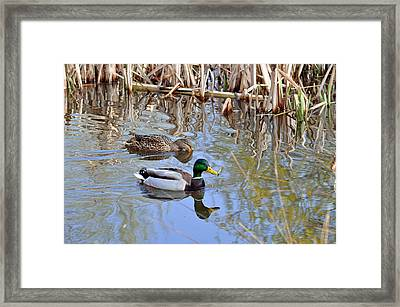 Pair Of Mallard Ducks Framed Print by Rod Johnson