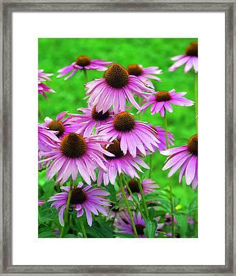 Pale Purple Coneflowers Framed Print by Marty Koch