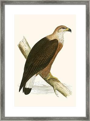 Pallas's Sea Eagle Framed Print by English School