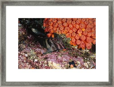 Panamic Fanged Blenny On Coral Reef Framed Print by James Forte