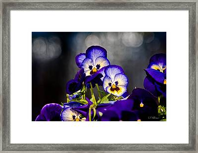 Pansies Framed Print by Christopher Holmes