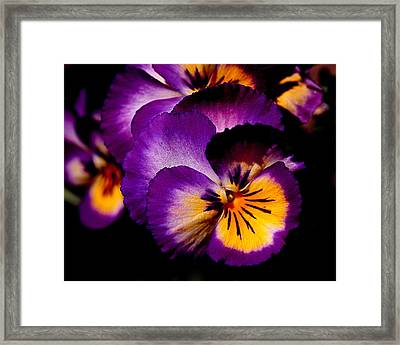 Pansies Framed Print by Rona Black