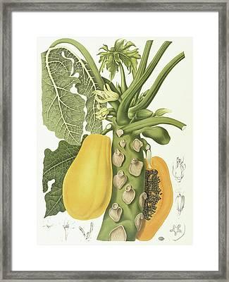 Papaya Framed Print by Berthe Hoola van Nooten