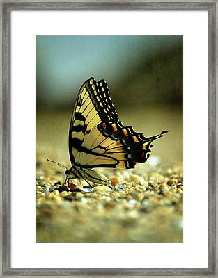 Papilio Glaucus Eastern Tiger Swallowtail Framed Print by Rebecca Sherman