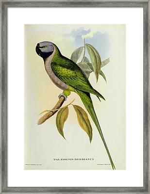 Parakeet Framed Print by John Gould