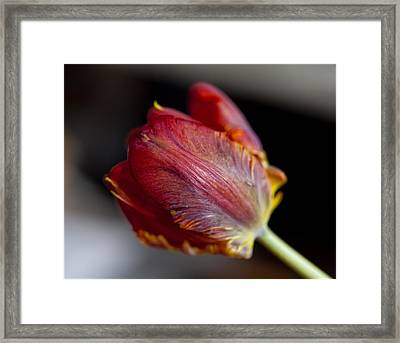 Parrot Tulips 13 Framed Print by Robert Ullmann