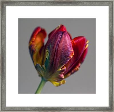 Parrot Tulips 15 Framed Print by Robert Ullmann