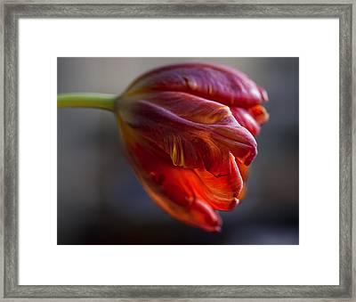 Parrot Tulips 16 Framed Print by Robert Ullmann