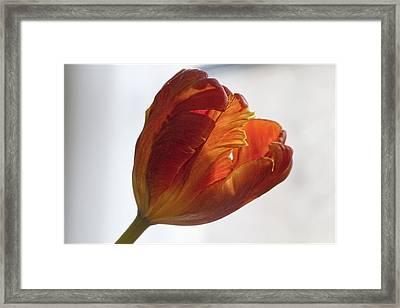 Parrot Tulips 19 Framed Print by Robert Ullmann