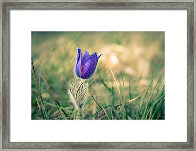 Pasque Flower Framed Print by Andreas Levi