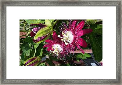 Passiflora Garden Framed Print by Liliana C