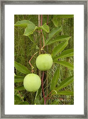 Passionfruit Framed Print by Inga Spence