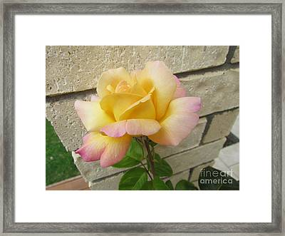 Peace Rose Framed Print by Joyce Woodhouse