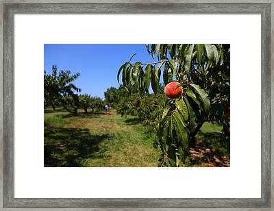Peach Grove Framed Print by Karol Livote