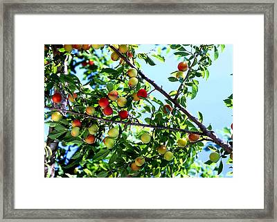Peach Tree With Fruits  Framed Print by Lanjee Chee