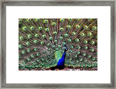 Peacock Feathers Framed Print by Karen M Scovill