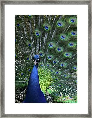 Peacock Framed Print by Sabrina L Ryan