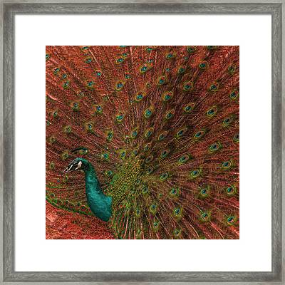 Peacock Spread Framed Print by Jack Zulli