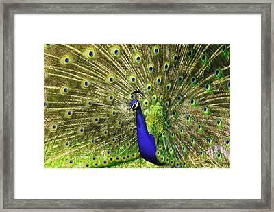 Peacock  Framed Print by W Scott Morrison