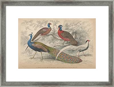 Peacocks Framed Print by Oliver Goldsmith