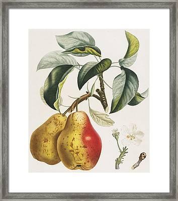 Pears Framed Print by Pierre Antoine Poiteau