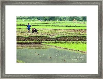 Peasant Harvesting A Rice Paddy With A Buffalo In Yangshuo Framed Print by Sami Sarkis