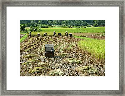 Peasants Harvesting A Rice Paddy Using A Machine In Yangshuo Framed Print by Sami Sarkis