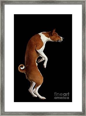Pedigree White With Red Basenji Dog On Isolated Black Background Framed Print by Sergey Taran