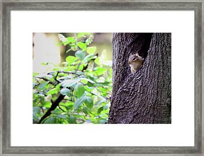 Peeking Eastern Chipmunk Framed Print by Codee Hart
