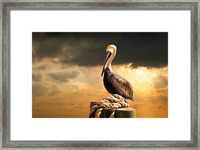 Pelican After A Storm Framed Print by Mal Bray