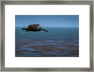 Pelican  Framed Print by Randy Bayne