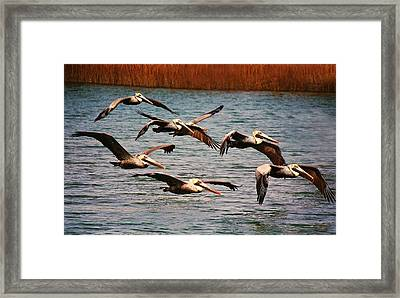 Pelicans Flying Through The Marsh Framed Print by Paulette Thomas
