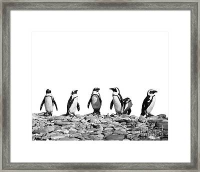 Penguins Framed Print by Delphimages Photo Creations