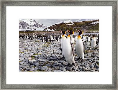 Penguins Of Salisbury Plain Framed Print by Karen Lunney