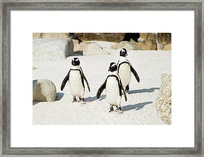 Penguins On Beach Framed Print by Rebecca Yale