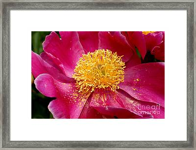 Peony Abstract Framed Print by Valerie Fuqua