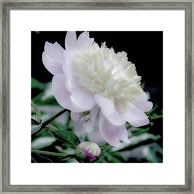 Peony In Bloom Framed Print by Julie Palencia