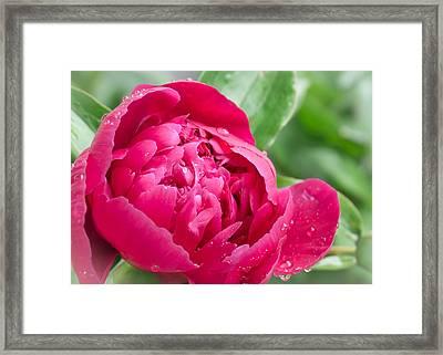 Peony In The Rain Framed Print by Jim Hughes