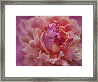 Peony Opening Framed Print by Sandy Keeton