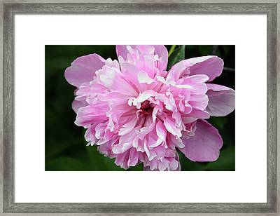 Peony Perfection Framed Print by Angelina Vick