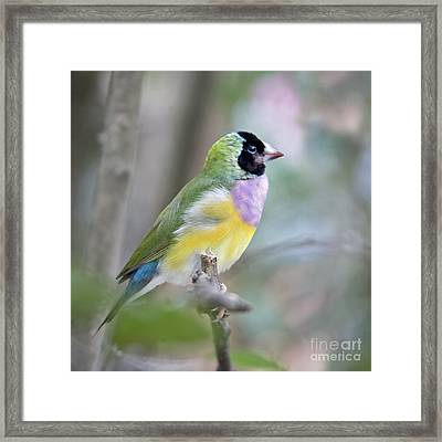 Perched Gouldian Finch Framed Print by Glennis Siverson
