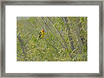 Perching Tanager Framed Print by Dennis Hammer