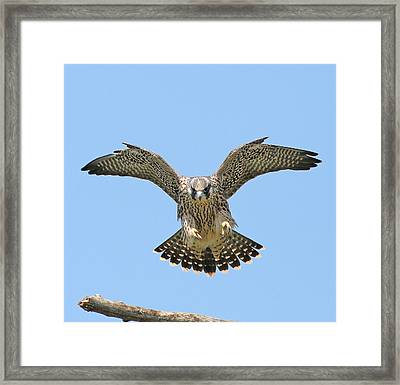 Peregrine Falcon Concentration Framed Print by ML Lombard