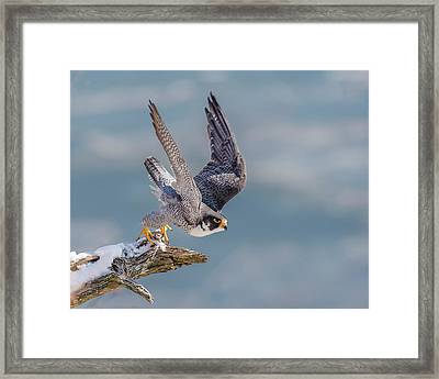 Peregrine, On Your Mark Framed Print by Morris Finkelstein