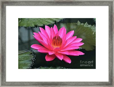 Perfect Pink Petals Of A Waterlily Framed Print by Byron Varvarigos