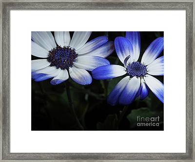 Pericallis From Out Of The Shadows Framed Print by Dorothy Lee
