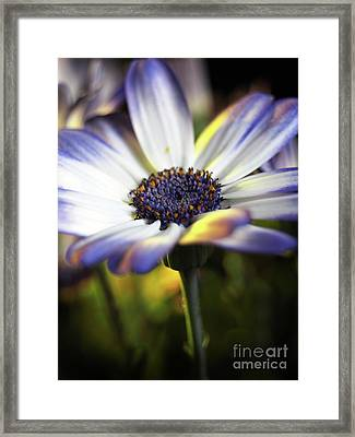 Pericallis Kissed By Golden Light Framed Print by Dorothy Lee