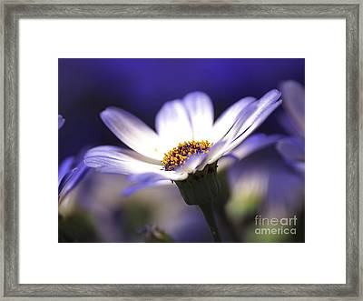 Pericallis On A Cool Spring Evening Framed Print by Dorothy Lee